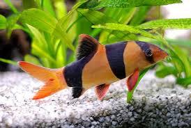 Séparation de poissons Macrac10