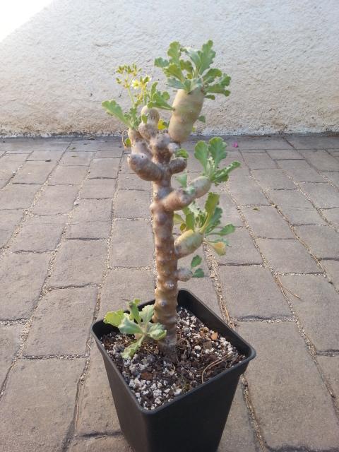 Pelargonium botanique à identifier 20160310