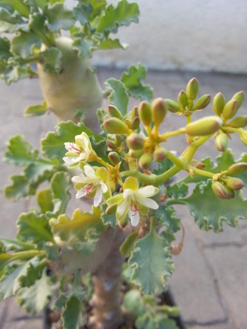 Pelargonium botanique à identifier 20160311