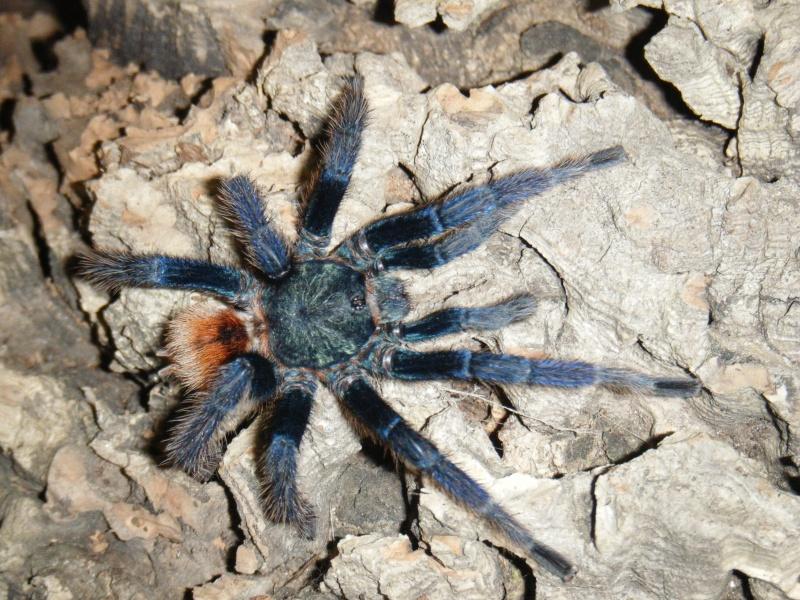 Mygale - Chromatopelma cyanopubescens Dscf1015