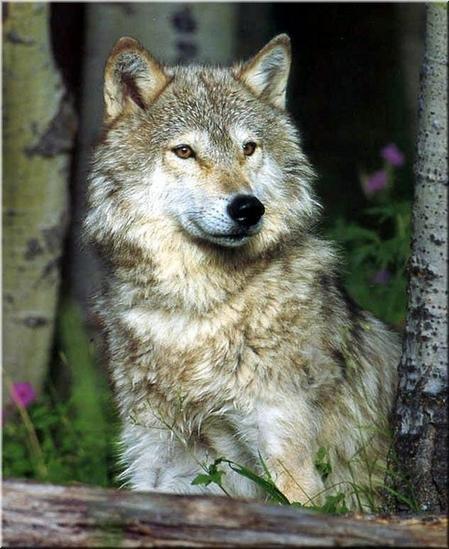 Les loups...... - Page 2 3umu8y10