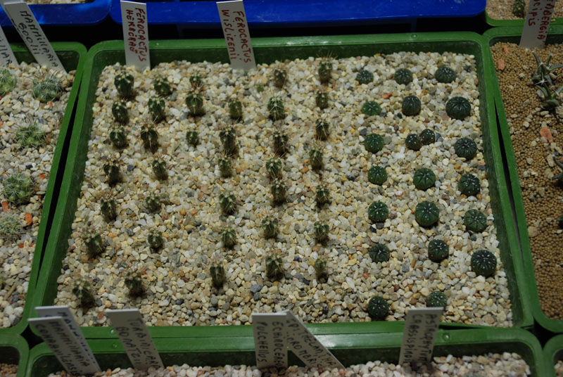 Semis de cactus 2009 chez Aboun 01910