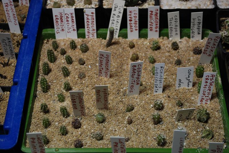 Semis de cactus 2009 chez Aboun 02110