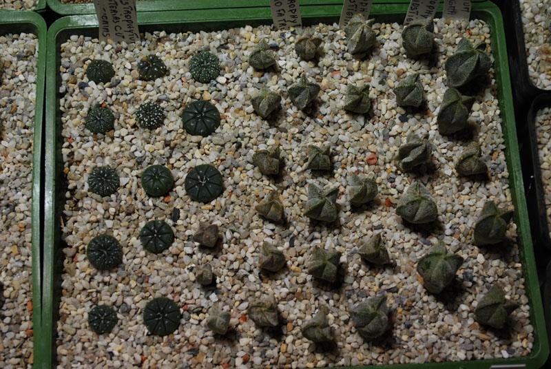 Semis de cactus 2009 chez Aboun 02910