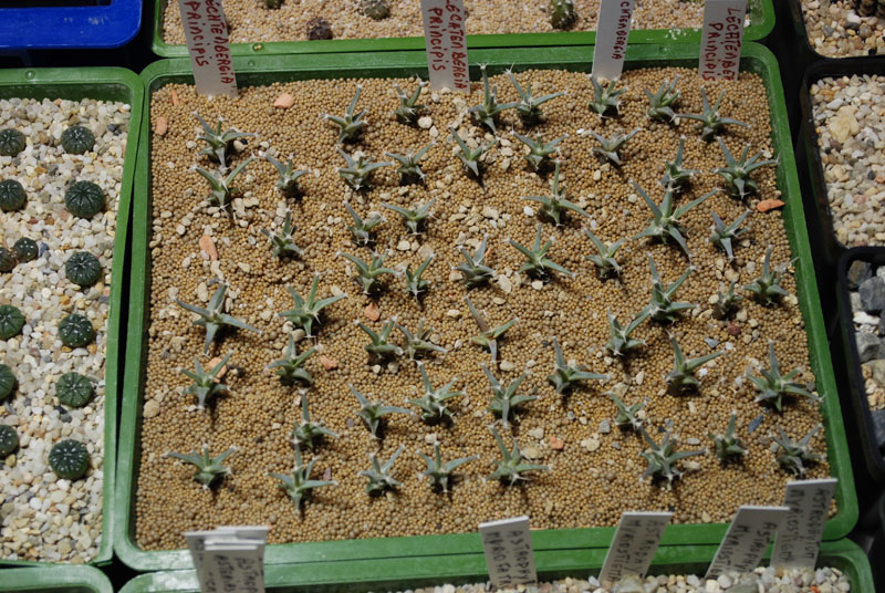 Semis de cactus 2009 chez Aboun 03010