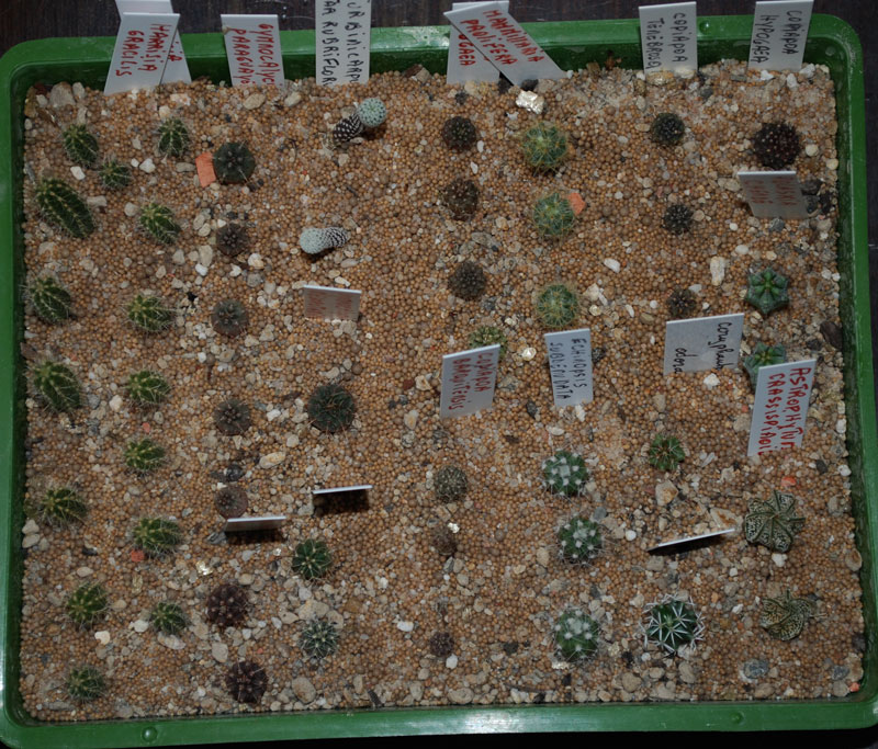Semis de cactus 2009 chez Aboun 14-aoa10