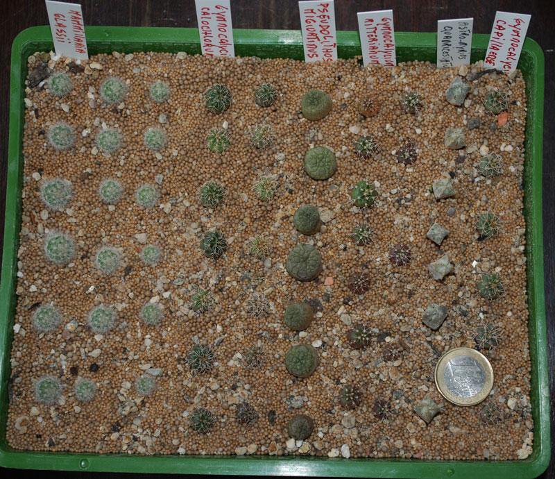 Semis de cactus 2009 chez Aboun 14-aoa12