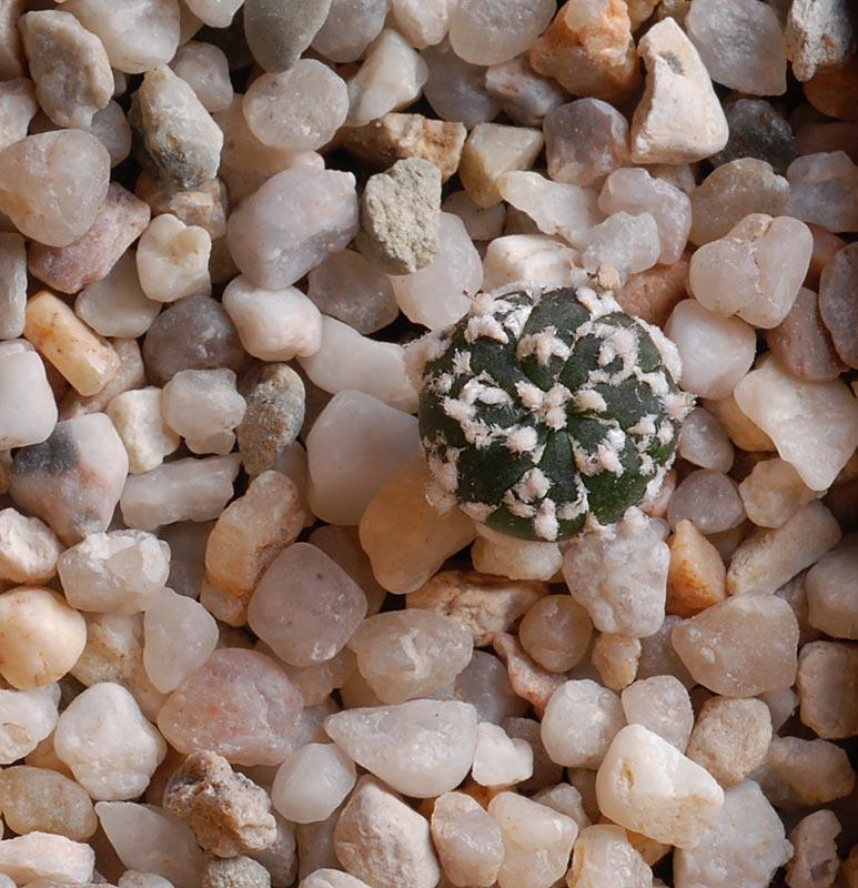 Semis de cactus 2009 chez Aboun Astro210
