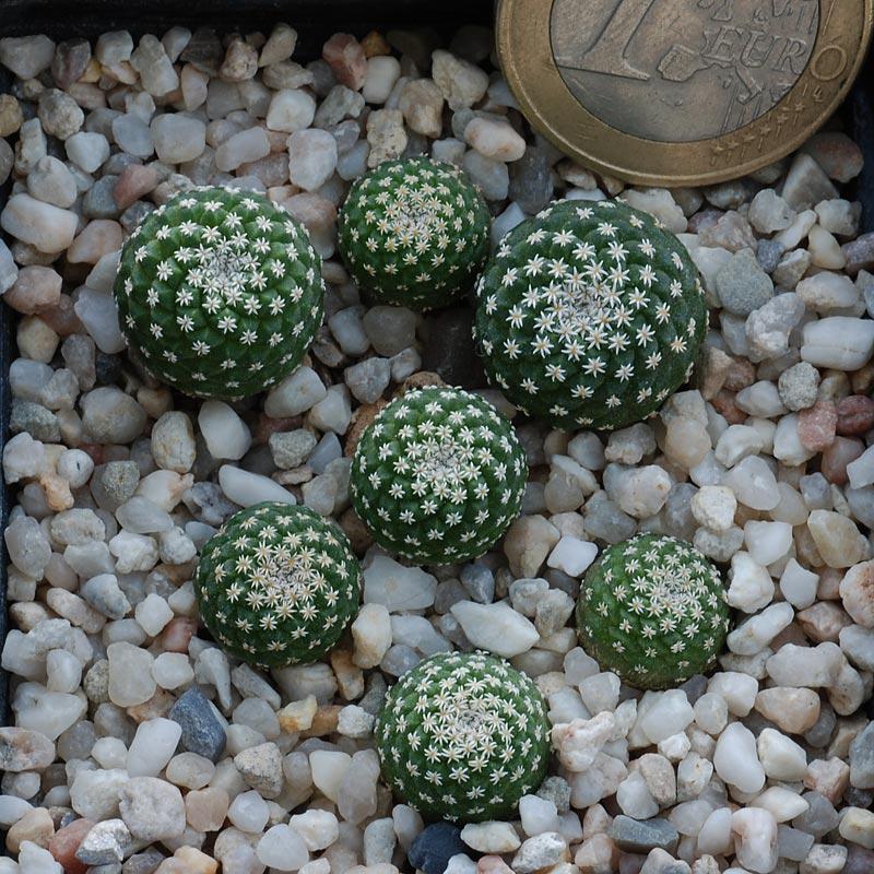 Semis de cactus 2009 chez Aboun Dsc_0239