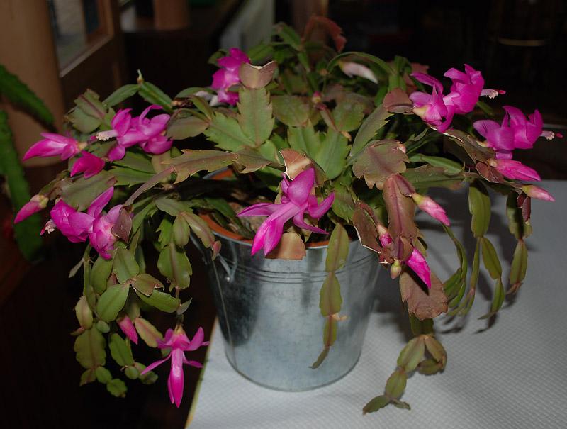 Cactus de Noël ou Schlumbergera Dsc_0252