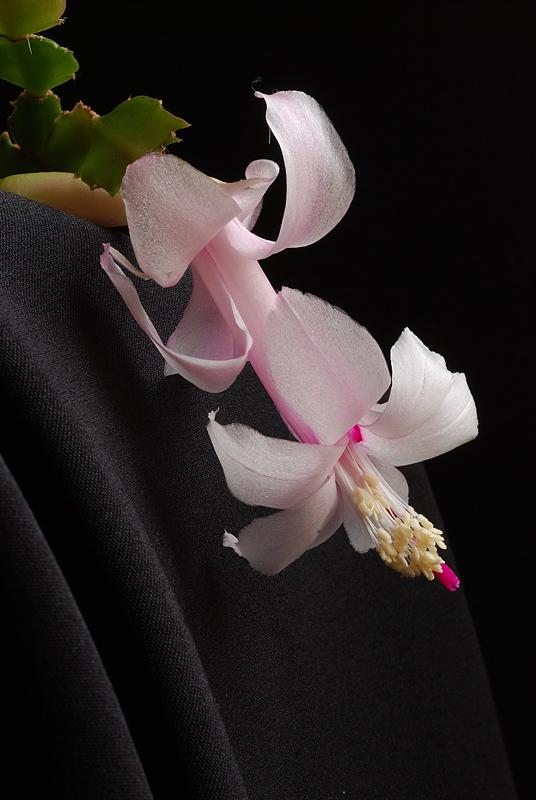 Cactus de Noël ou Schlumbergera Dsc_0253