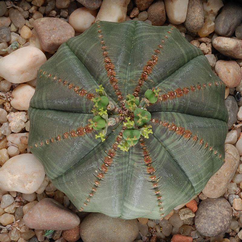 Euphorbia obesa en fleurs Dsc_0255