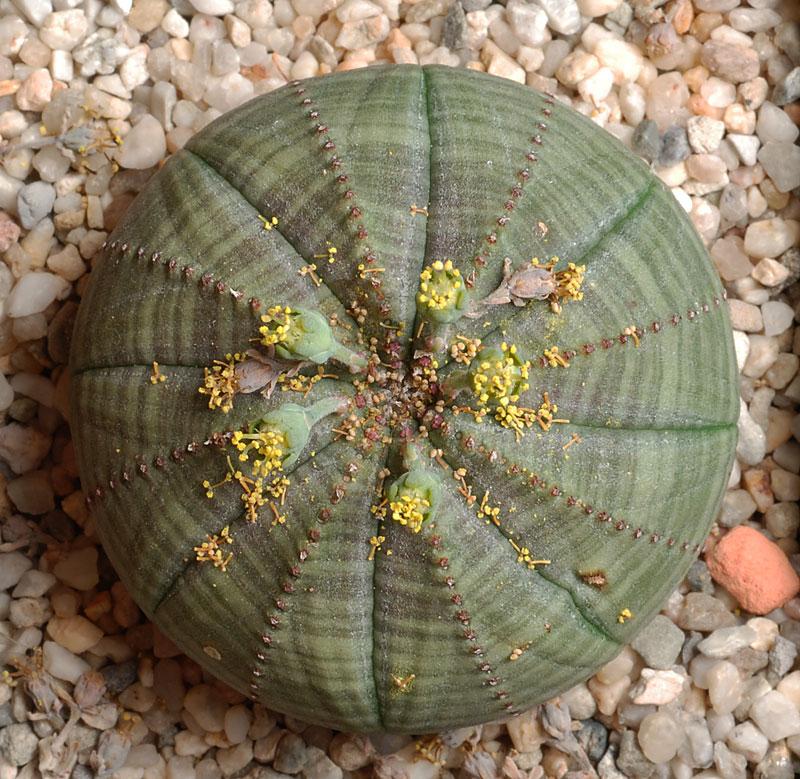 Euphorbia obesa en fleurs Euphor11