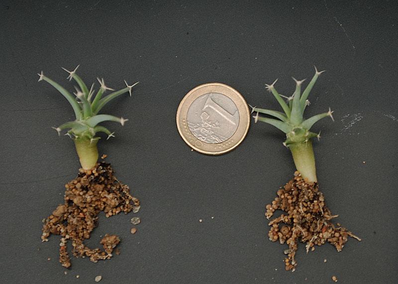 Semis de cactus 2009 chez Aboun Lechte10
