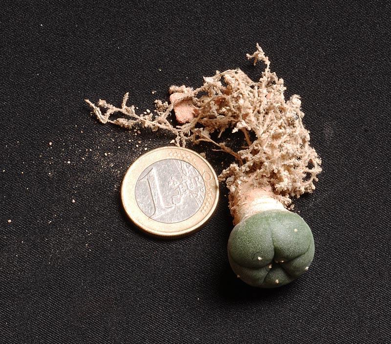Semis de cactus 2009 chez Aboun Lopho210