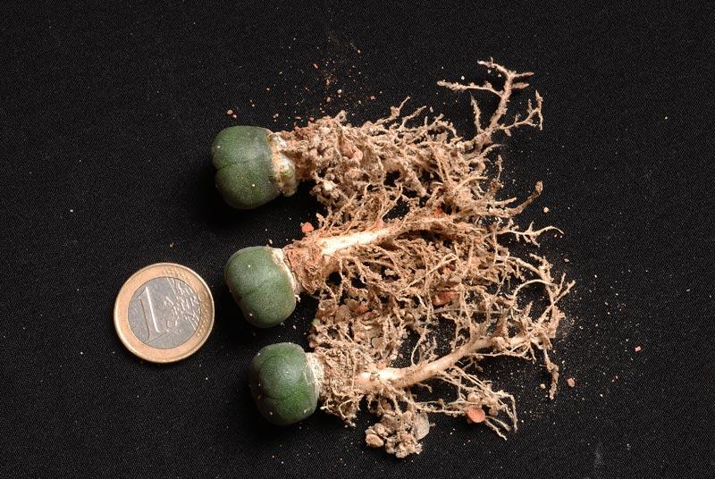 Semis de cactus 2009 chez Aboun Lopho410