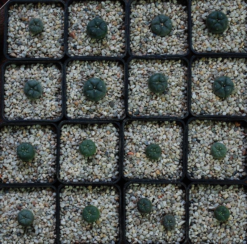 Semis de cactus 2009 chez Aboun Lopho510