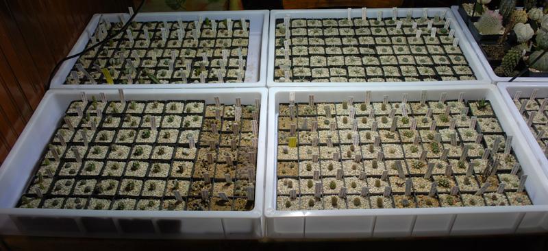 Semis de cactus 2009 chez Aboun Rempot10