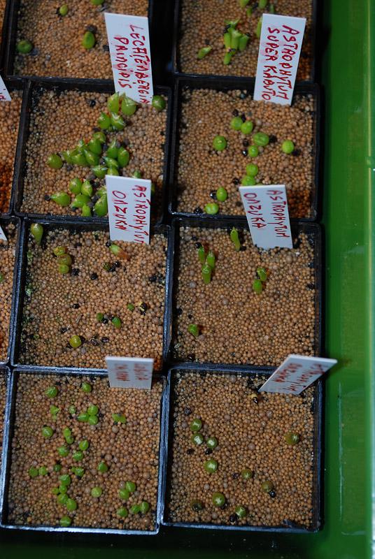 Semis de cactus 2009 chez Aboun Semis-11