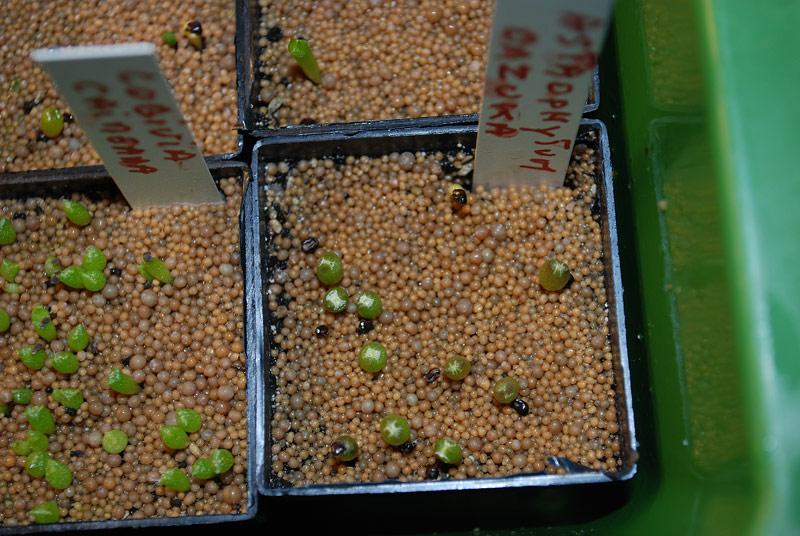 Semis de cactus 2009 chez Aboun Semis-15