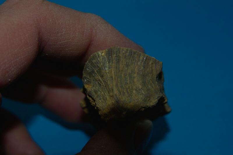 [Pinnigena sp.] fossile à identifier Fossil12