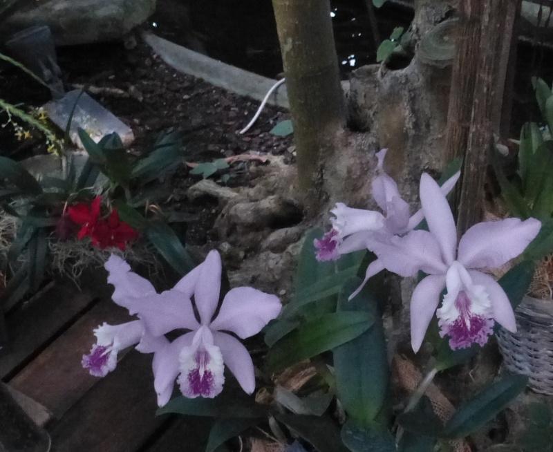 1001 Orchidées au jardin des Plantes Février 2016 Cattle10