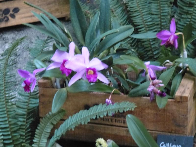 1001 Orchidées au jardin des Plantes Février 2016 Cattle12