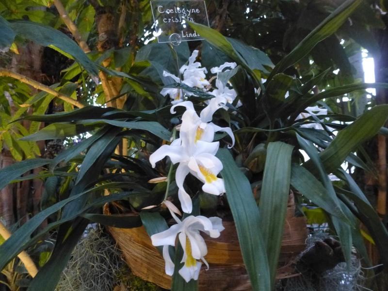 1001 Orchidées au jardin des Plantes Février 2016 Coelog10
