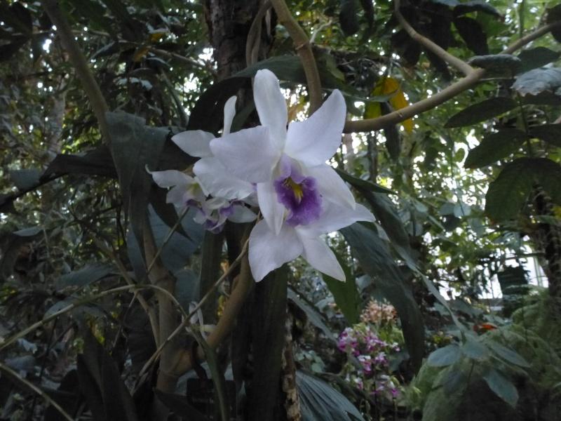 1001 Orchidées au jardin des Plantes Février 2016 Laelia10