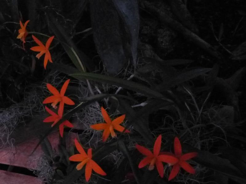 1001 Orchidées au jardin des Plantes Février 2016 Laelia11