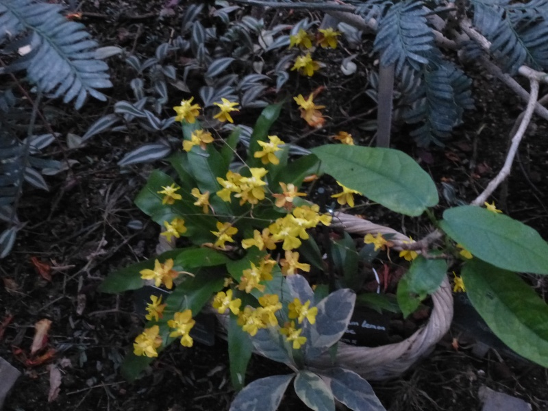 1001 Orchidées au jardin des Plantes Février 2016 Oncidi10