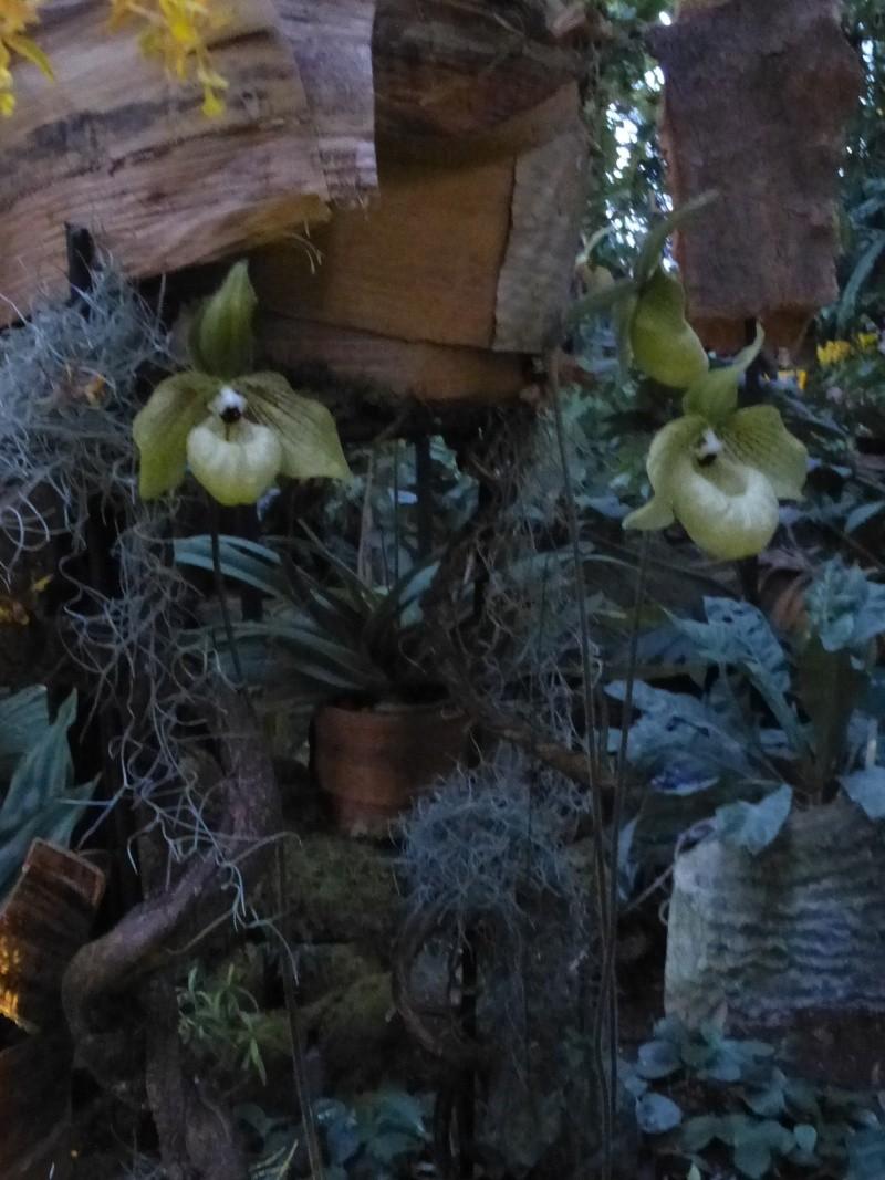 1001 Orchidées au jardin des Plantes Février 2016 Paphio11