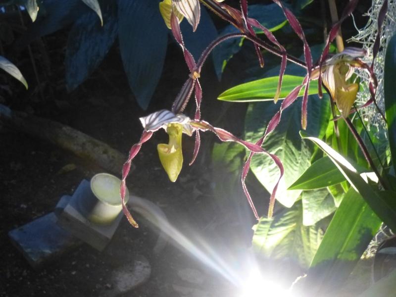 1001 Orchidées au jardin des Plantes Février 2016 Paphio12