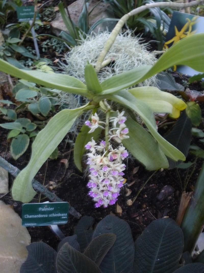 1001 Orchidées au jardin des Plantes Février 2016 Rhynch10