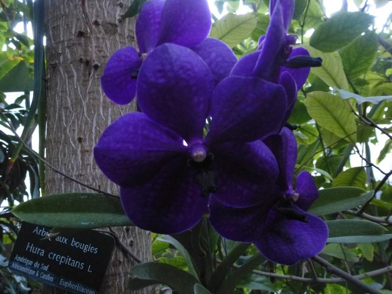 1001 Orchidées au jardin des Plantes Février 2016 Vanda_10