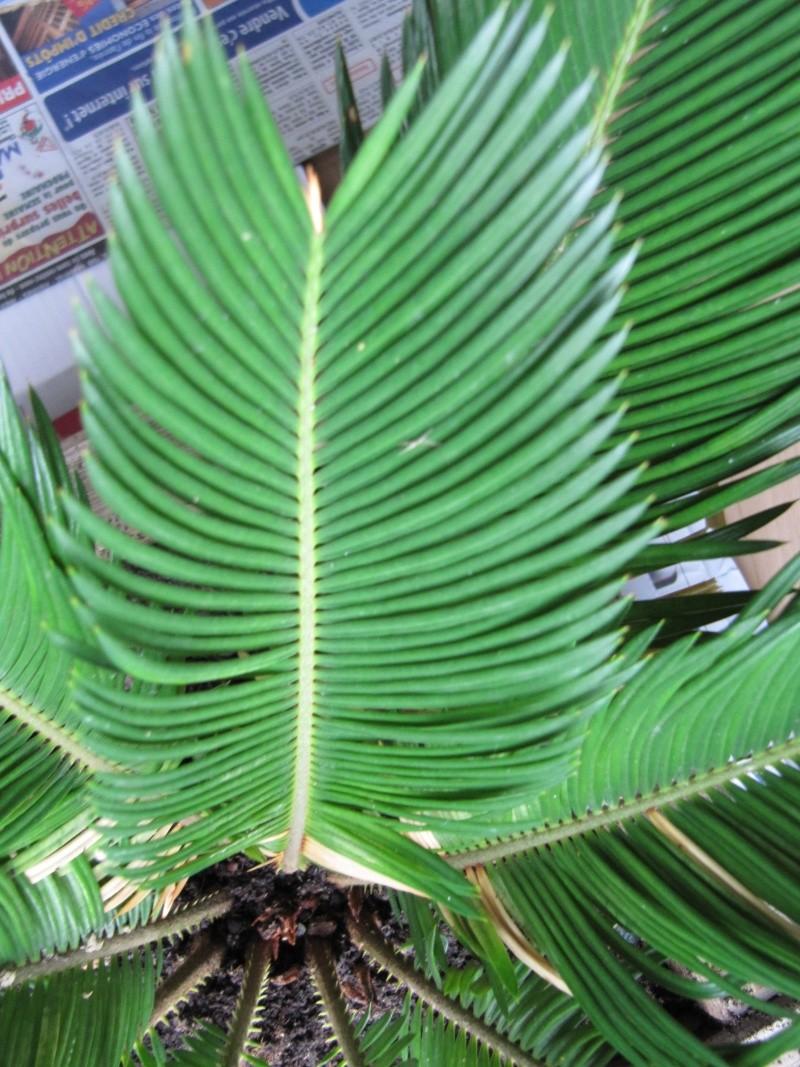 De quel palmier s'agit-il? 00410