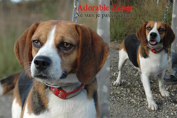 ZEMIR, beagle mâle, 4 ans (40) Zemirm10