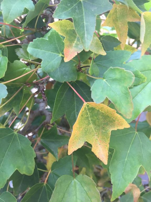 Yellow tips on Scots Pine Deea5f10