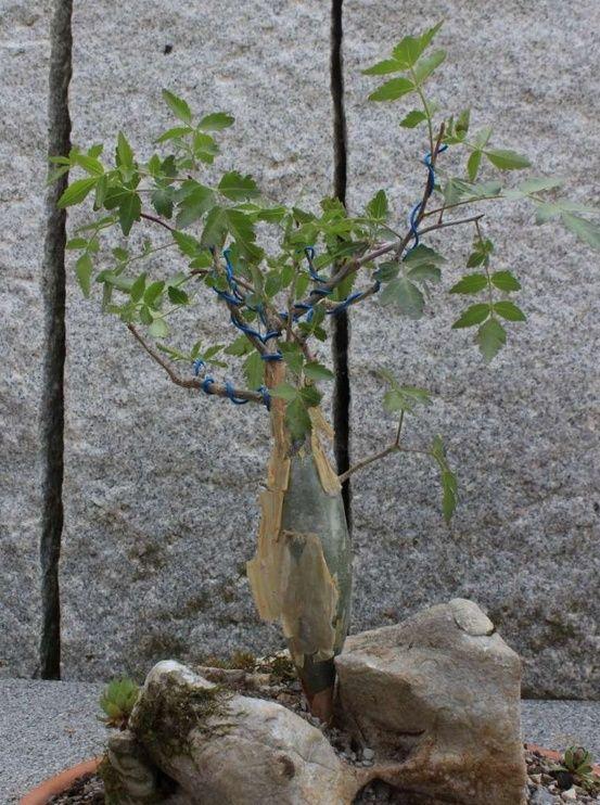 BURSERA FAGAROIDES 00210