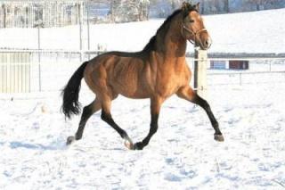 Commencer une partie sur Horse Life Hanovr11