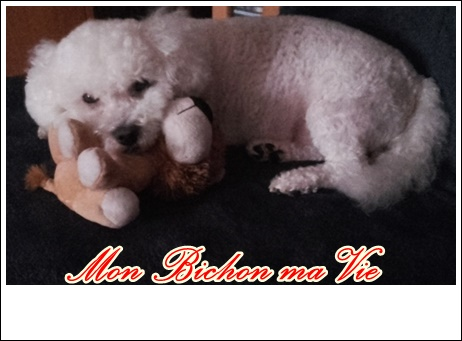 Album photos des bichons Fripou10