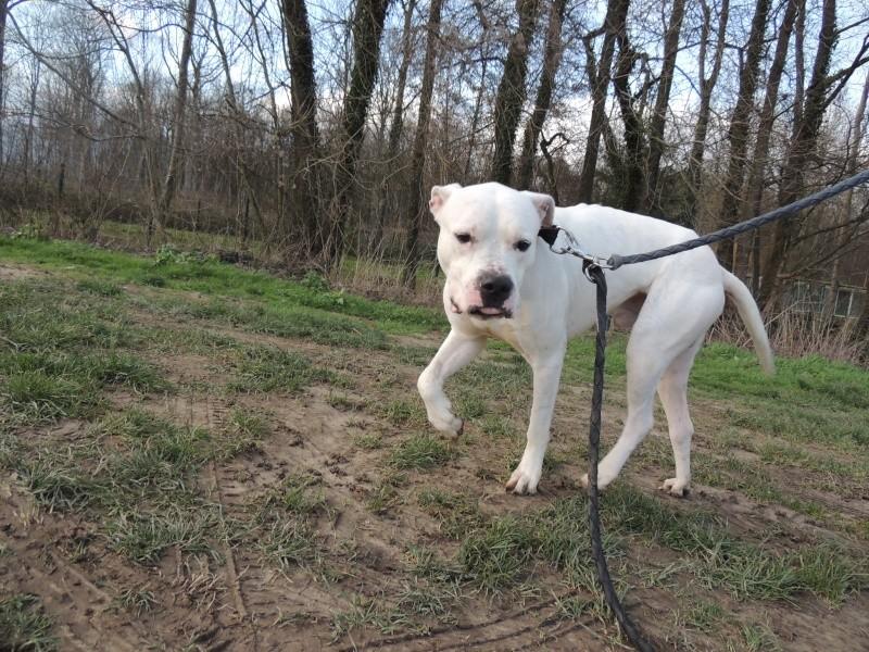 PLAYBOY DOGUE AREGENTIN mâle Pataud18