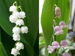 زهور ليليا الوادي Lily of the Valley U10