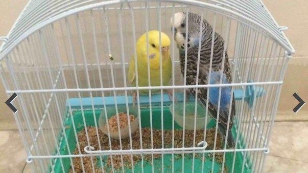 للبيع طيور حب اليف  011