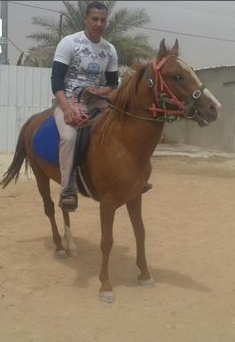 حصان شعبي للبيع حراج الرياض 0110