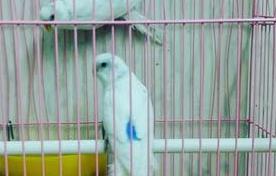 حراج الطيور جوز حب هولندية للبيع 014