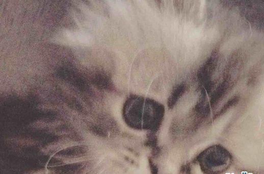 قطه  شيرازية  هاف بيكي للبيع مع جميع أغراضها 018