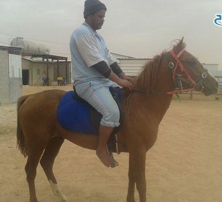 حصان شعبي للبيع حراج الرياض 0210