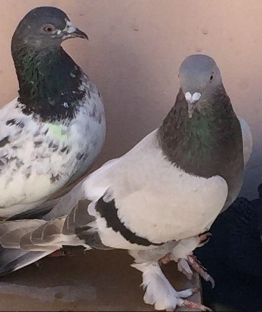 طيور حمام تركي  للبيع 11111