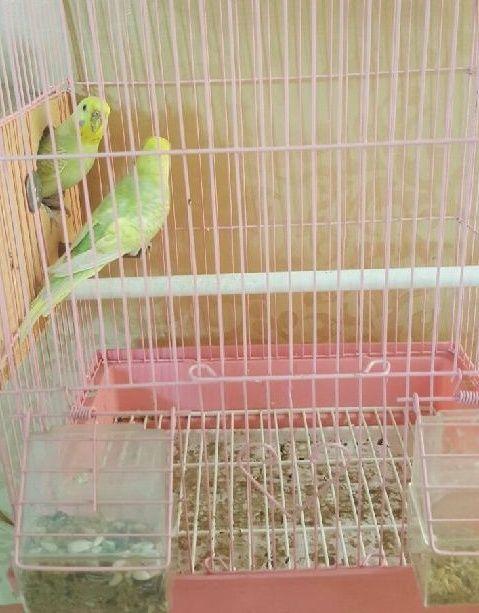 طيور بادجي للبيع مع القفص حراج 112